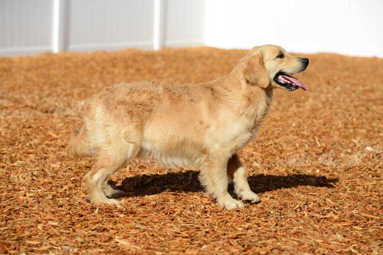 Simba is Farley's brother is a full English Golden Retriever and brings a great English line from Europe. Both parents are Serbian Champions from the Sanitacteam Day Kennel.